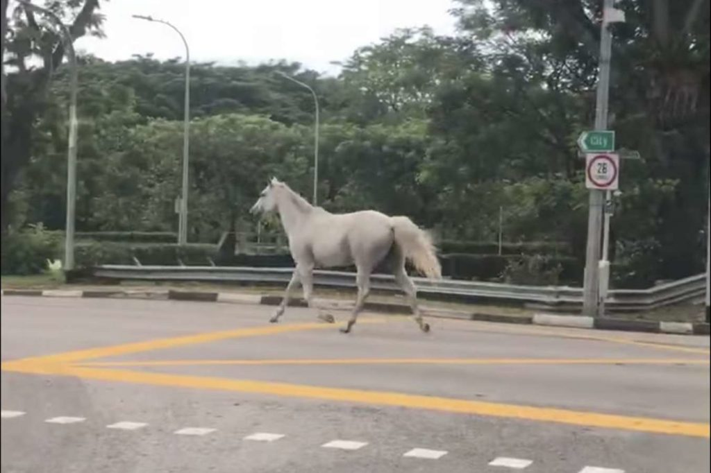 Singapore horse on the loose